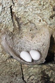 Konrad Wothe - Edible-nest Swiftlet nest with eggs, North Andaman Islands, India
