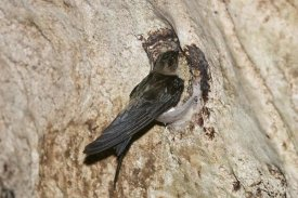 Konrad Wothe - Edible-nest Swiftlet on nest, North Andaman Islands, India