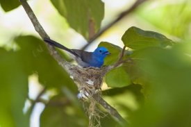 Konrad Wothe - Black-naped Monarch female at nest, Havelock Island, India