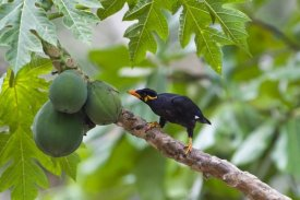 Konrad Wothe - Hill Myna feeding on papaya, Havelock Island, India