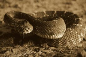 Larry Minden - Red Rattlesnake, Baja California, Mexico - Sepia