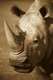 San Diego Zoo - White Rhinoceros portrait, native to Africa - Sepia