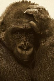 San Diego Zoo - Western Lowland Gorilla with hand on head, native to Africa - Sepia