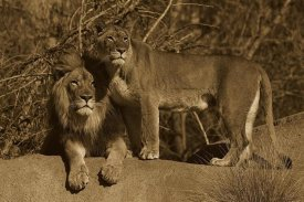 San Diego Zoo - African Lion male and African Lioness, native to Africa - Sepia
