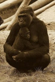 San Diego Zoo - Western Lowland Gorilla mother and baby, native to Africa - Sepia