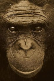 San Diego Zoo - Bonobo portrait, native to Africa - Sepia