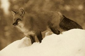 Tim Fitzharris - Red Fox standing at the top of a snow bank, Montana - Sepia
