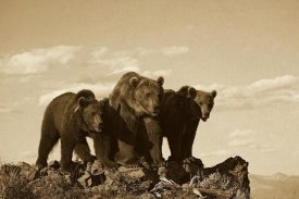 Tim Fitzharris - Grizzly Bear with two one-year-old cubs, North America - Sepia