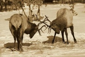 Konrad Wothe - Elk bulls fighting in the snow, Yellowstone National Park, Wyoming - Sepia