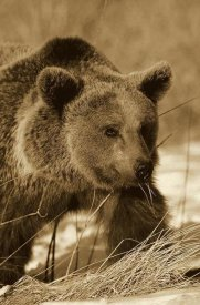 Konrad Wothe - Brown Bear eating dry grasses in winter, Germany - Sepia