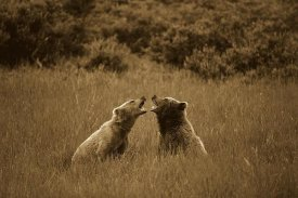 Konrad Wothe - Grizzly Bears sparring, Katmai National Park, Alaska - Sepia