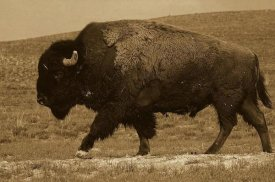 Pete Oxford - American Bison male, Durham Ranch, Wyoming - Sepia