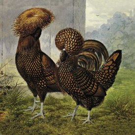 Lewis Wright - Chickens: Gold Spangled Polish
