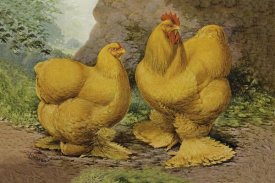 Lewis Wright - Chickens: Buff Cochins