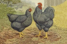 Lewis Wright - Chickens: Plymouth Rocks