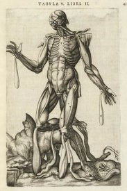 Andreas Versalius - Male figure with muscles and skeleton