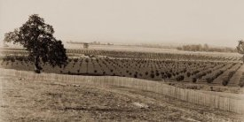 Carleton Watkins - Young Orchard, Palermo, Butte County, California, 1888-1891