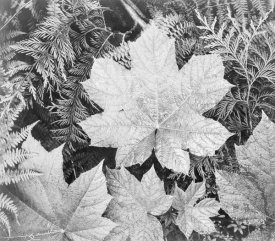 Ansel Adams - Leaves, Glacier National Park, Montana - National Parks and Monuments, 1941