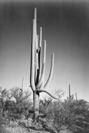 Ansel Adams - Full view of cactus and surrounding shrubs, In Saguaro National Monument, Arizona, ca. 1941-1942