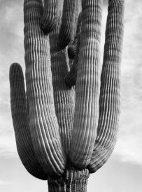 Ansel Adams - Detail of cactus Saguaros, Saguro National Monument, Arizona, ca. 1941-1942