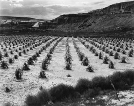 Ansel Adams - Looking across rows of corn, cliff in background, Corn Field, Indian Farm near Tuba City, Arizona, in Rain, 1941