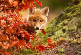 Robert Adamec - Fox