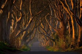 Piotr Galus - The Dark Hedges In The Morning Sunshine