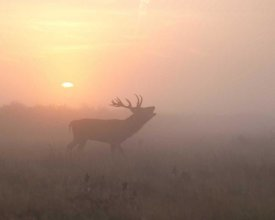 Greg Morgan - Misty Morning Stag