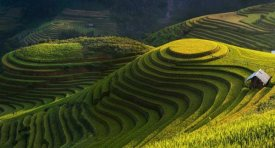 Jakkree Thampitakkull - Gold Rice Terrace In Mu Cang Chai,Vietnam.