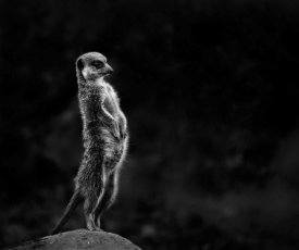 Greetje Van Son - The Meerkat