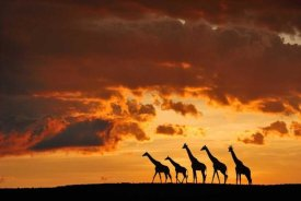 Muriel Vekemans - Five Giraffes