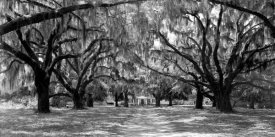 Anonymous - Avenue of oaks, South Carolina