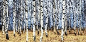 Oleg Znamenskiy - Birch grove in autumn