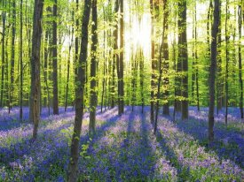 Frank Krahmer - Beech forest with bluebells, Belgium