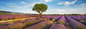 Frank Krahmer - Lavender field and almond tree, Provence, France