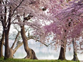 Anonymous - Cherry trees bloom, Washington, USA