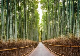 Pangea Images - Bamboo Forest, Kyoto, Japan