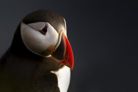 Ennedi - Puffin Portrait