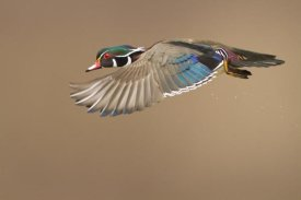 Mircea Costina - Wood Duck