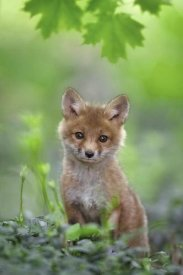 Nick Kalathas - Red Fox Pup