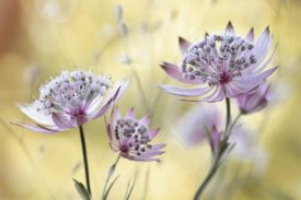 Mandy Disher - Astrantia Major