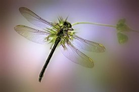 Jimmy Hoffman - Green Dragonfly