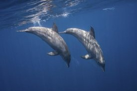 Barathieu Gabriel - Two Bottlenose Dolphins