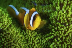 Barathieu Gabriel - Yellow Clownfish On Green Anemon