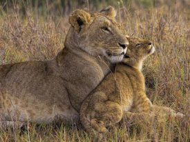 Henry Jager - Baby Lion With Mother
