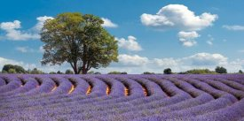 Pangea Images - Lavender Field in Provence, France