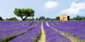 Pangea Images - Lavender Fields, France