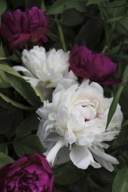 Brookview Studio - Peonies II
