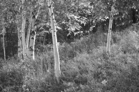 Sue Schlabach - Sunlit Birches I