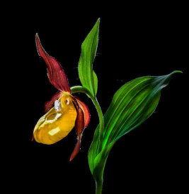 Nora De Angelli - Macro Close-Up Photograph Of The Lady's Slipper Orchid